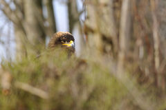 Steppe Eagle hidden in bush branches Stock Image