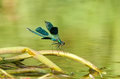 Dragonfly sitting on a water stick 4 royalty free stock photo