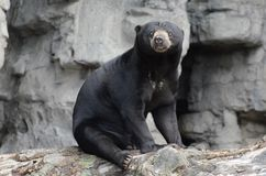 Sitting sun bear. A male malayan sun bear sitting on a log Stock Photography