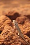 Oriental Garden Lizard in wild royalty free stock images