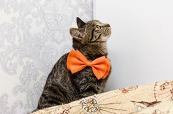Tabby cat with a bow at the neck looks up. Sitting tabby cat with a bow at the neck looks up royalty free stock photos