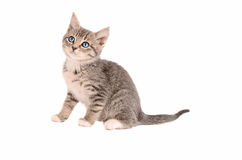 Sitting Tabby Kitten Stock Photography