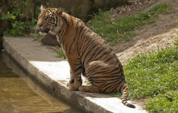 Sitting tiger Royalty Free Stock Images