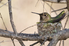 Sitting tight. Anna's Hummingbird on nest under tree canopy stock photos