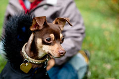 Sitting toy terrier in black coat Stock Image