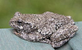 Sitting Tree Frog Royalty Free Stock Images