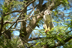 Sitting on the tree monkey with blue skyes Royalty Free Stock Photo