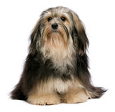 Sitting tricolor havanese. Cute sitting tricolor Havanese dog is looking upwards. Isolated on a white background Royalty Free Stock Photography
