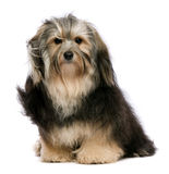 Sitting tricolor havanese Stock Photos
