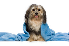 Sitting tricolor Havanese with blue blanket Stock Photo