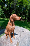 Sitting Vizsla Dog (Hungarian Pointer). A purebred Hungarian Vizsa dog sit on a stone step in front of some green trees Royalty Free Stock Image