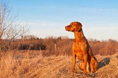 Sitting Vizsla Dog in the Spring. A portrait of a sitting Vizsla dog in a field the spring Royalty Free Stock Images