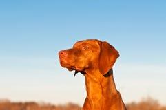 Sitting Vizsla Dog in the Spring. A portrait of a sitting Vizsla dog in a field the spring Stock Photo