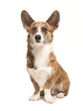 Sitting welsh corgi dog. Pretty and proud adult welsh corgi adult dog sitting with ears up seen from the front isolated on a white background Stock Images