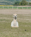 Sitting White Alpaca Stock Image
