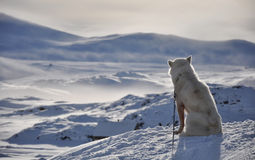 Sitting white dog in winter, Greenland. Cold arctic winter, Kulusuk village, Greenland Royalty Free Stock Photo