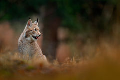 Sitting wild cat Eurasian Lynx in orange autumn leaves, forest in background. Wildlife scene in Europe. Wild cat from Sweden. Lynx Stock Images