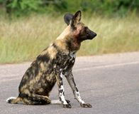 Sitting wilddog Royalty Free Stock Photos