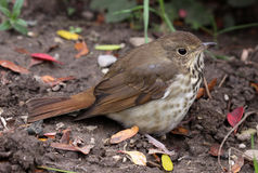 Sitting Wood Thrush Royalty Free Stock Photos