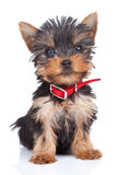 Sitting yorkie toy Stock Photo