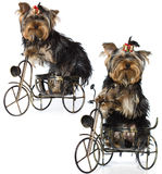 Sitting yorkshire terrier Royalty Free Stock Image