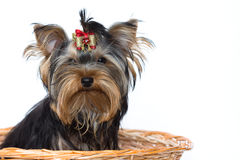 Sitting yorkshire terrier Stock Photos