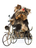 Sitting yorkshire terrier stock photography