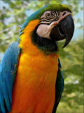 Sitting For You. McCaw Parrot with blue, yellow and green Stock Photos