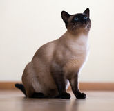 Sitting young adult siamese cat Royalty Free Stock Photo