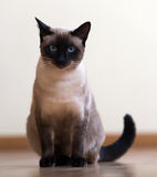 Sitting young adult siamese cat Royalty Free Stock Photography