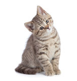 Sitting young cat full length looking with great attention isolated. On white Royalty Free Stock Photo