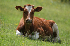 Sitting young cow Stock Photo