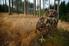 Sitting young Eurasian Eagle Owl on moss tree stump with in forest habitat, wide angle lens photo Royalty Free Stock Image