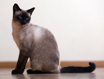 Sitting young Siamese cat Stock Photo