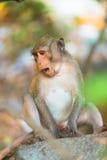Sittng della scimmia che guarda giù Fotografie Stock Libere da Diritti