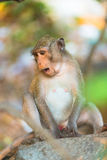 Sittng do macaco que olha para baixo Fotos de Stock Royalty Free