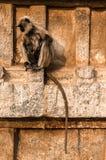 Sittng indiano do langur no templo em Hampi, Karnataka, Índia Fotos de Stock