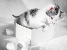 sittting在心脏箱子的一只逗人喜爱的小的小猫喜欢在一张白色地毯的一件礼物在太阳 免版税库存照片