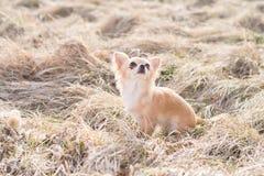 Situação da chihuahua e espera para obter algo Tiro exterior dentro Imagem de Stock Royalty Free