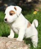 Situación adorable del perrito del terrier de Russell del enchufe Fotos de archivo