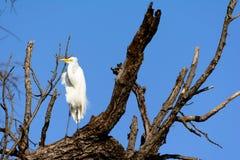 Situación alba del gran Ardea de la garceta en árbol Foto de archivo