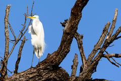 Situación alba del gran Ardea de la garceta en rama de árbol Foto de archivo libre de regalías