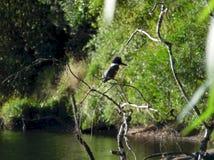 Situación anillada del martín pescador en un árbol fotografía de archivo