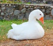 Situación blanca del ganso Imagen de archivo libre de regalías