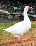 Situación blanca del ganso Foto de archivo libre de regalías