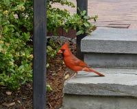 Situación cardinal roja en un paso en Dallas Arboretum y los jardines botánicos fotografía de archivo libre de regalías