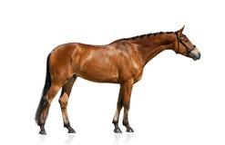 Situación criada en línea pura del caballo aislada Fotografía de archivo libre de regalías