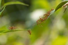 Situación de la acción de la hormiga Equipo de la unidad del puente de la hormiga, toge del trabajo del equipo del concepto Fotos de archivo libres de regalías