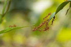 Situación de la acción de la hormiga Equipo de la unidad del puente de la hormiga, toge del trabajo del equipo del concepto Foto de archivo libre de regalías