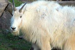 Situación de la cabra de montaña Imágenes de archivo libres de regalías